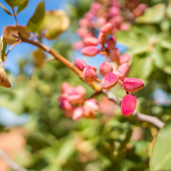 ciclo vegetativo del pistachio